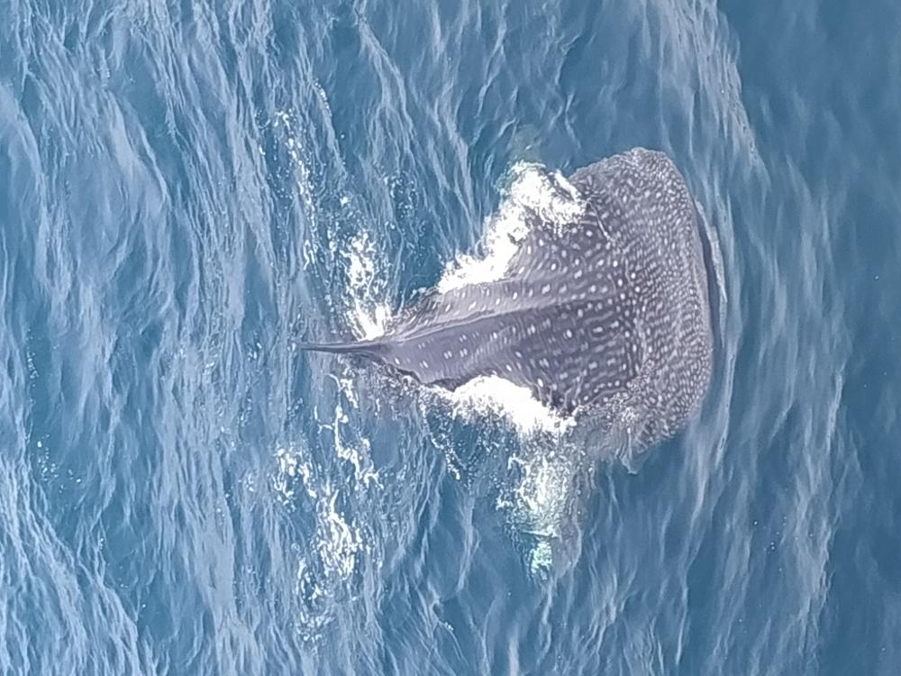 Name:  Whale%20shark%2020%20July%202019.jpg
